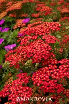 Monrovia in Pot Paprika Common Yarrow at Lowe's. Finely textured, fern-like gray-green foliage create a soft background for the tall heads of bright-red flowers. A proven performer in hot, dry situations Landscaping Plants, Garden Plants, Vegetable Garden, Achillea Millefolium, Monrovia Plants, Plant Catalogs, Orange Flowers, Tall Flowers, Clay Soil