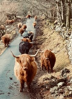 Escape of Highland Cattle Highland Cow Art, Highland Cattle, Pretty Animals, Animals Beautiful, Cute Animals, Plush Animals, Farm Animals, Animal Photography, Nature Photography