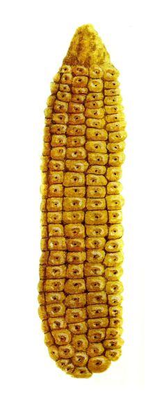 Maíz dulcillo de noroeste. Usos: pinole, ponteduro. Nayarit, Sinaloa, Sonora, Baja California / México, maíz, elote, corn, mexican corn