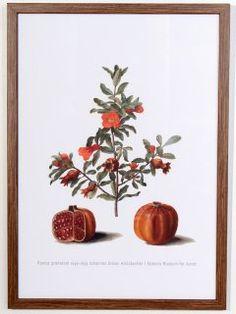 Punica Granatum Poster, print size 32 cm x 44 cm 1649-1659 Johannes Simon Holtzbecher SMK.dk