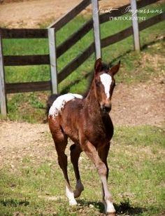 Baby Horse, Mister Twister's Dirt Devil  Racking Horse