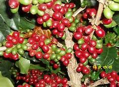 Types of Coffee Beans in the World Types Of Coffee Beans, Different Types Of Coffee, Coffee Vending Machines, Home Coffee Machines, Best Travel Coffee Mug, Best Coffee, Coffee Shop Business Plan, Expensive Coffee, Kaffee