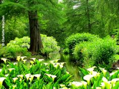 water garden with calla lilies