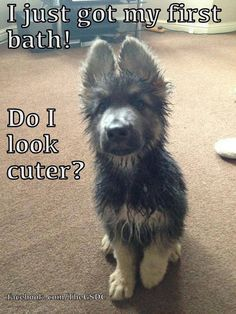 Funny German Shepherd meme for dog lovers, click here to check out this hilarious German Shepherd.. German Shepherd also known as the Alsatian is a popular dog breed http://HarrietsDogGifts.com for funny German Shepherd gifts for dog. #dogsfunnybath #dogsfunnymeme