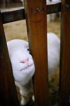 Such a precious little lamb! :3