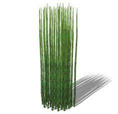 Equisetum hyemale - Horsetail Reed