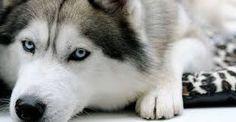 Image result for husky