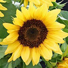 Sunflower Peach Passion F1