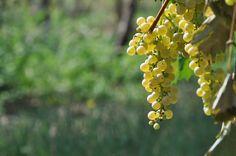 Grazie al gran caldo che ha maturato le nostre uve, sul Lago di Garda è già cominciata la vendemmia. E voi che vino preferite del nostro lago?  - Chiaretto  - Bardolino  - Corvina in purezza  - Custoza  - Lugana    @Lago di Garda #LagodiGarda