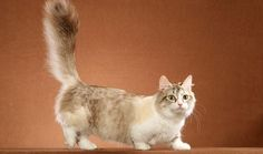 11 Cat Breeds With Funny Names Munchkin cat breed Cute Kittens, Cats And Kittens, Kitty Cats, Short Legged Cats, Gato Munchkin, Animals And Pets, Cute Animals, Rare Cats, Pixie Bob