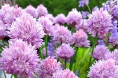 Chive flowers - also pretty, also tasty in a salad, and bees like them - all good reasons for growing chives in your garden.