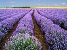 Champs de lavande, Provence.