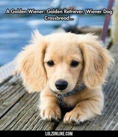 A Golden Wiener Golden Retriever