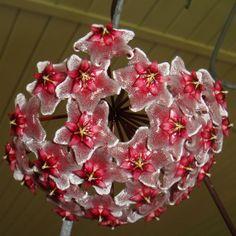 Hoya pubicalyx 'Royal Hawaiian Purple' Cutting [IML 0056] - $10.00 : Buy Hoya Plants Online in Many Species from SRQ Hoyas Today!