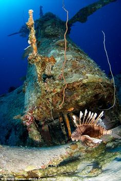 A lionfish swims in front of the body of a WWII plane