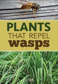 The Best Wasp Repellent Plants - Five Spot Green Living