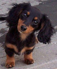 dachshund I love him!