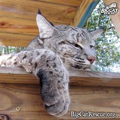 Big Cat Updates for Jan 30th have been postedhttps://bigcatrescue.org/jan-30-2017/This is Max Bobcat