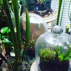 Bought a new mister today. I use rain water or distilled water. Ho about you?? #rain #mist #pnw #terrarium #plants #oregon #hybrid #scarlettebelle #fatchance #carnivorousplants #carnivoroustagram #plants #keepportlandweird #feedmeseymour #littleshopofhorrors #nature #nepenthes #greenthumb #50tree by kevinscarnivorouscorner