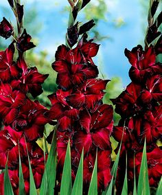 Gladioli 'Black Jack' http://www.spaldingbulb.co.uk/product/gladioli-black-jack-/ ❤️