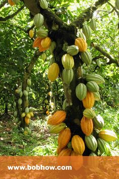 3 amazing facts about cocoa fruit benefits Anybody can locate chocolate anywhere nowadays. It has created a huge market of its own for just chocolate. At the same time, it is possible to find it as complementary with other food items as well.