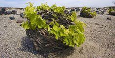 """Le cépage Assyrtiko : """"une fraîcheur remarquable"""" - Le Figaro Vin"""