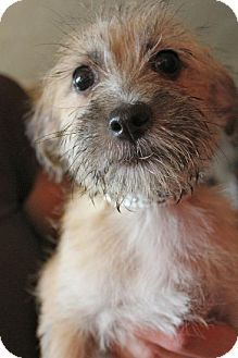 albert the doggie westie jack russell terrier mix