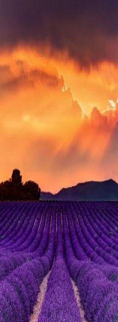 lavender fields More #LavenderFields