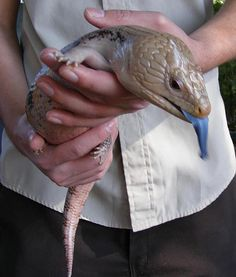 """""""BLUE-TONGUED BABY: A zookeeper holds a blue-tongued skink in his hands at the Santa Ana Zoo. These reptiles are native to Australia and thrive in mountain and semi-desert mixed woodlands and forests."""""""