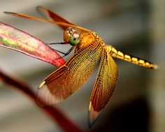 "Dragonfly ""tambaroray"" By julius sabelino"