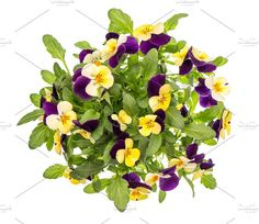 Pansy flowers spring viola by LiliGraphie on @creativemarket