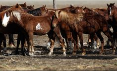 URGENT: Slaughter Auction Looms for Former Wild Horses as Sanctuary Leader Struggles with Deadlines | Straight from the Horse's Heart