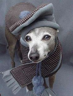 Italian Greyhound dressed for the weather