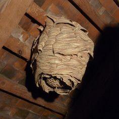 nid de frelon au grenier sous les tuiles, dans la grange, au garage