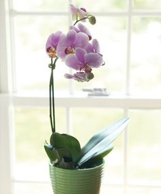 Why Won't My Orchid Rebloom Key steps to orchid care and getting them to rebloom. Orchid Roots, Moth Orchid, Orchid Plants, Orchid Care, How To Plant Orchids, Fine Gardening, Container Gardening, Succulent Containers, Container Flowers