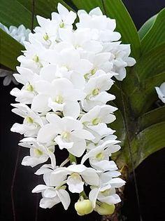 orquídea rhyncostyllis gigantea alba adulta flores brancas