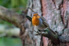 The European robin, known simply as the robin in the British Isles, is a small insectivorous passerine bird, specifically a chat, that was formerly classed as a member of the thrush family, but is now considered to be an Old World flycatcher.