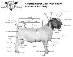 BoerGoats.com Article Selection of a Market Goat-  #babygoatfarm