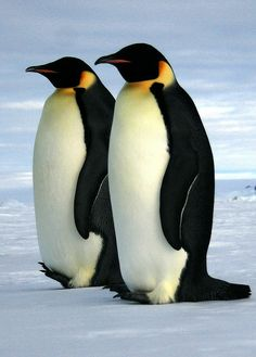Emperor penguin | Emperor penguins | Flickr - Photo Sharing!