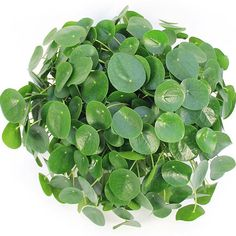 Wow, @123kamerplanten sells this huge pilea in the Netherlands. I'll take two  . Pilea peperomioides, in Australia, for sale at www.pileaplace.com Tag #pileaplace to be featured :)