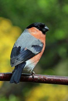 Free Image on Pixabay - Bullfinch, Bull Finch, Bird Bird Pictures, Pretty Pictures, Pretty Birds, Beautiful Birds, Bird Sketch, British Garden, Any Birds, Bullfinch, Reference Images