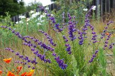 Trichostema lanatum - Wooly Blue Curls | par pete@eastbaywilds.com