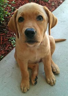 Nala the Labrador Retriever.
