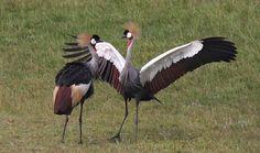 Grey Crowned Crane Sahara Birds ~ Bird and Bird