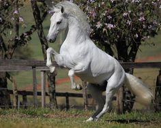 Interagro - PSL - - Puro Sangue Lusitano - Lusitano Horse