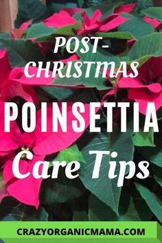 An easy year-round plan to keep your poinsettia plant healthy and encourage beautiful blooms in time for the holidays. Organic Gardening Tips, Indoor Gardening, Easy Care Houseplants, Poinsettia Plant, Plant Crafts, Growing Plants Indoors, Vertical Garden Diy, House Plant Care, Unusual Plants