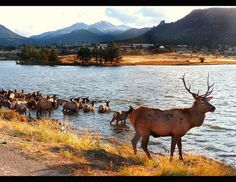 Estes Park Elk   Estes Park elk herd   Flickr - Photo Sharing!