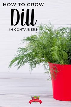 Want to grow dill at home but don't have the space or the desire for a full herb garden? Learn how to grow dill in containers or pots! #herbgarden