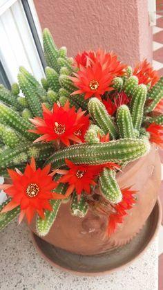 Succulent Gardening, Succulent Terrarium, Cacti And Succulents, Planting Succulents, Cactus Plants, Planting Flowers, Exotic Flowers, Beautiful Flowers, Cactus Care