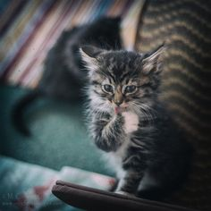 Long Haired Tabby Kitten Licking Paw Vintage by inlightfulimages, $14.00